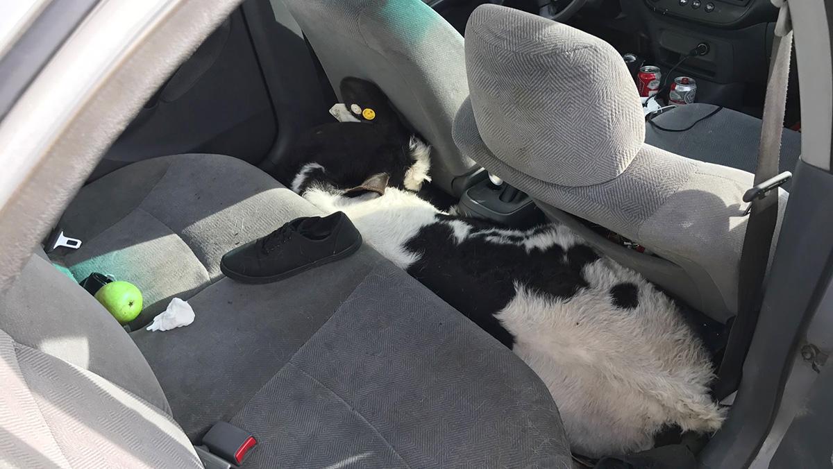 Incautado un Honda Civic con dos vacas a bordo