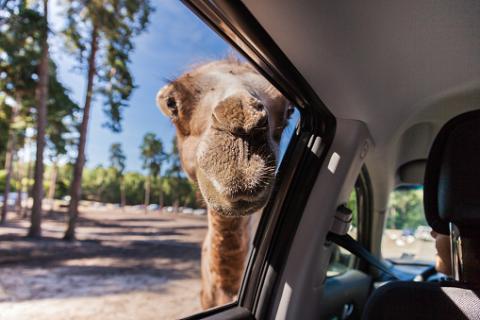 camello coche
