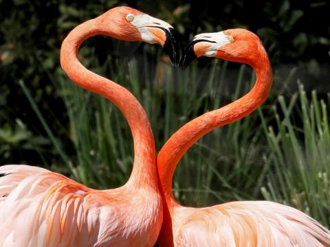 These flamingos formed a heart with the curves of their long necks.