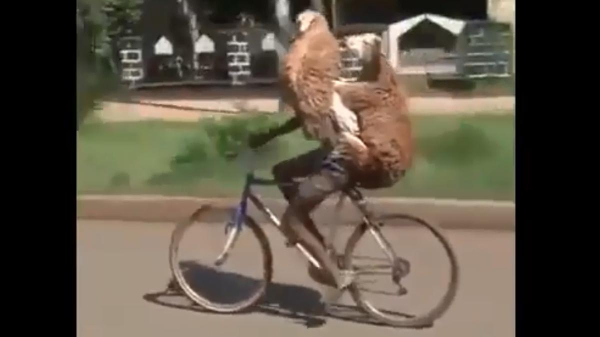 Ciclista circula cons sus 2 ovejas