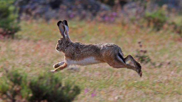Conejo (liebre) compite en un Rally